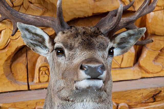white deer head