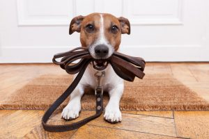 Dog with leather leash waiting to go for a walk